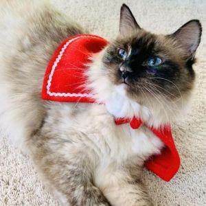 Ludmilla Siamese Cat