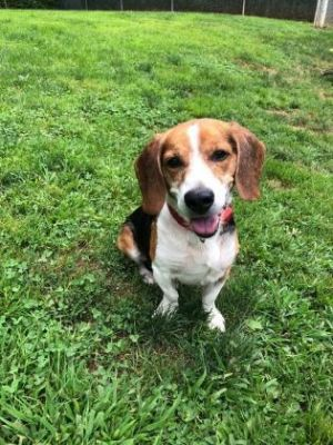 This is Shiloh He is an adorable beagle  just the right size Shiloh is a friendly family dog who