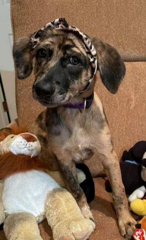 Phoebe (TX) Hound Dog