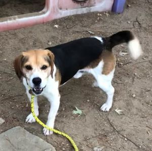 Pablo Beagle Dog