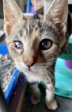 STELLA Tabby Cat