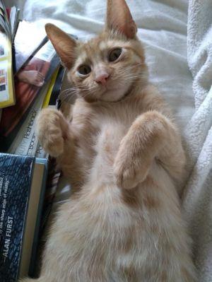 JOSH L Tabby Cat