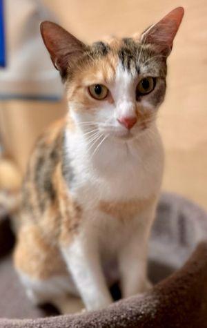 KOOKABURRA L  Calico Cat