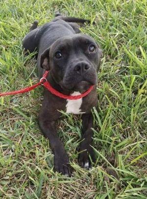 Abby (TX) Pit Bull Terrier Dog