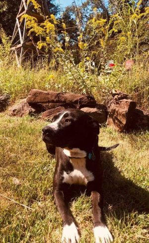 My name is Maxine I am about 2 years old and 60 lbs I was a stray and clearly had