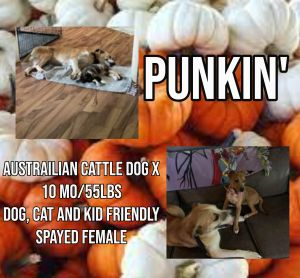 Meet Punkin a 10 month old 55lb female Australian Cattle Dog Mix Punkin is fully vetted alte