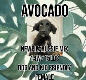 Meet Avocado A 14 week old 15lb Australian ShepherdNewfoundland Mix She is fully vetted altere