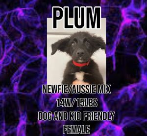 Meet Plum A 14 week old 15lb Australian ShepherdNewfoundland Mix He is fully vetted altered m