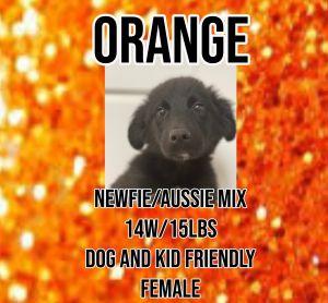 Meet Orange A 14 week old 15lb Australian ShepherdNewfoundland Mix He is fully vetted altered