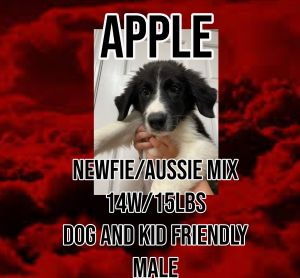 Meet Apple A 14 week old 15lb Australian ShepherdNewfoundland Mix He is fully vetted altered