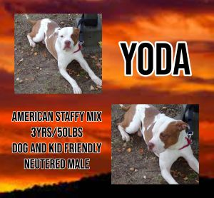 Meet Yoda a 3 year old 50lb male Staffy Mix He is fully vetted altered microchipped etc He is