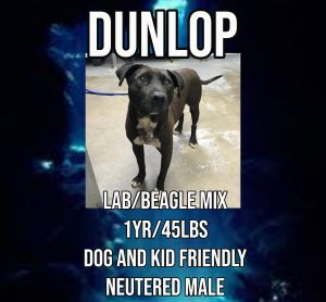 Meet Dunlop a 1 year old 45 lb labbeagle mix Dunlop is fully vetted altered microchipped etc