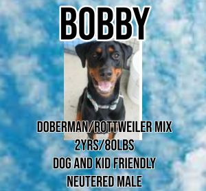 Meet Bobby a 2 year old 80 lb dobermanrottie mix Bobby is fully vetted altered microchipped et