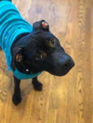 Savanah (SC) Pit Bull Terrier Dog