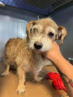 Meet Harriet a 10 year old 15 pound wonderful schnauzer mix She is friendly and gets along with