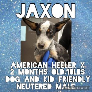 Meet Jaxon a 2 month old 10lb American Heeler mix Jaxon is fully vetted altered microchipped et