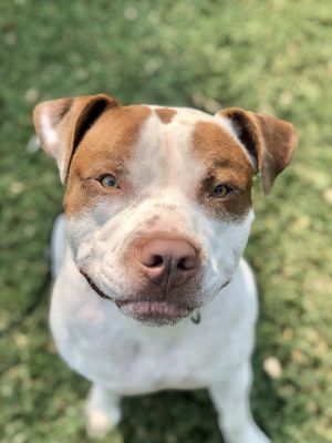 Hi My name is Stargell I am about 65 lbs and 2 years old I am a SUPER lucky boy