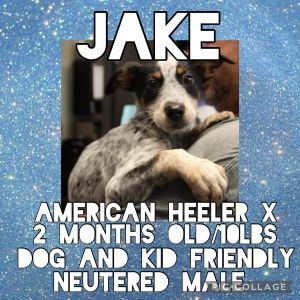 Meet Jake a 2 month old 10lb American Heeler mix Jake is fully vetted altered microchipped etc
