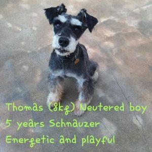 THOMAS Schnauzer Dog
