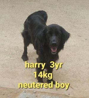 HARRY Cocker Spaniel Dog
