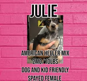 Meet Julie a 2 month old 10lb American Heeler mix Julie is fully vetted altered microchipped et