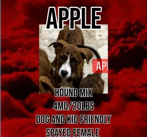 Meet Apple a 4 month old 20lb Hound mix Apple is fully vetted altered microchipped etc She is