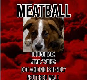 Meet Meatball a 4 month old 20lb Hound mix Meatball is fully vetted altered microchipped etc H