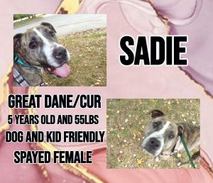 Meet Sadie a 5 year old 55lb Great Dane mix Sadie is fully vetted altered microchipped etc She