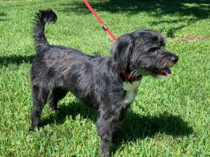 Cute Cali is about 1 year old and 20 lbs and a poodle mix of sorts She was found running
