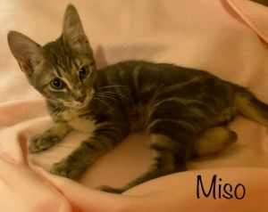 Miso is a gorgeous marble tabby with lovely circular markings on this side He has a great dispositi