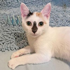 DOB 42521 Portabella is a very sweet engaging little personality She purrs