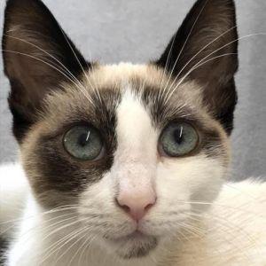 Mr. Sixx Siamese Cat