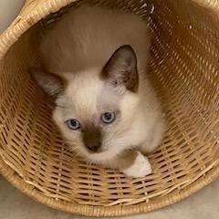 Carrie Siamese Cat