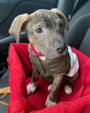 Spenser (SC) Pit Bull Terrier Dog