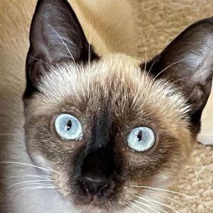 Lolita Siamese Cat