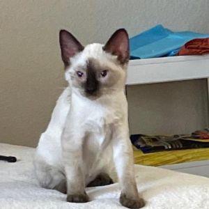 Qi Siamese Cat