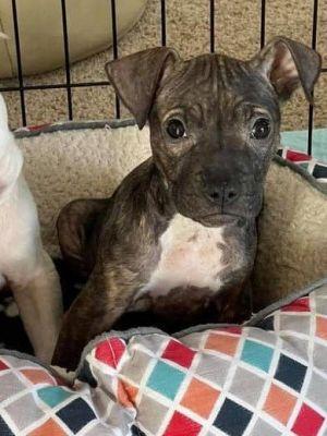 Sophie (SC) Pit Bull Terrier Dog