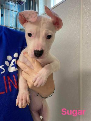 Sugar (SC) Pit Bull Terrier Dog