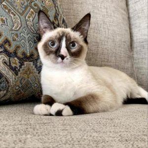 Shiloh Siamese Cat