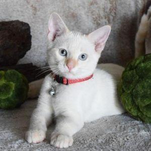 Juneau Siamese Cat