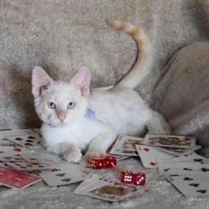 Reno Siamese Cat