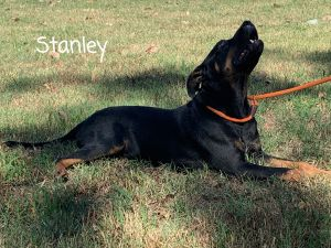 PERFECT DOG ALERT Meet Stanley he is 62 lbs of pure love He is 1 12 years old - LabRottweile