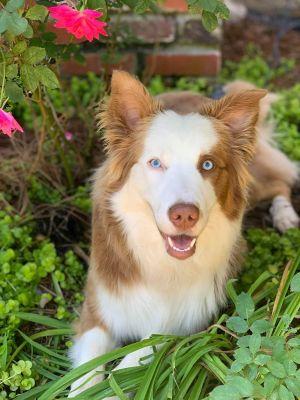Mizz Lilly Australian Shepherd Dog