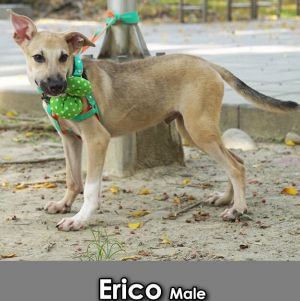 Erico Mountain Dog Dog