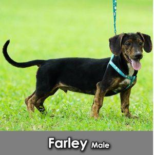 Farley Dachshund Dog