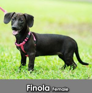 Finola Dachshund Dog