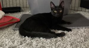 Saiya is a 4-month-old 4-pound female domestic shorthair kitten Meet Saiya Me