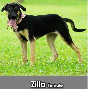 Zilla Mountain Dog Dog