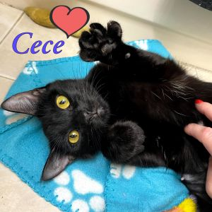 Cece is an incredibly affectionate  outgoing lover girl  who loves to be carried around like a b