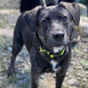 Meet Rudy Trudy Rudy is an adorable 6 month young Plott hound mix He is fully vetted weighs 26 po